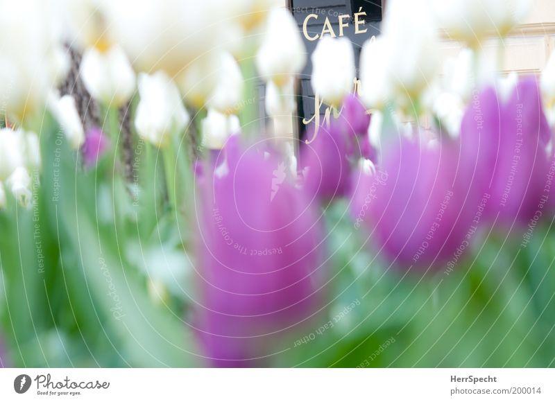 White Green Plant Signs and labeling Violet Flower Café Tulip Symbols and metaphors Sidewalk café Flowerbed