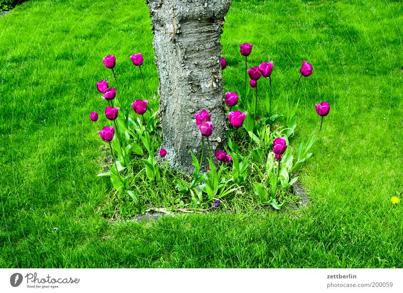 Tree Flower Green Plant Relaxation Meadow Grass Garden Lawn Decoration Jewellery Tree trunk Tulip Gardening Gardener Apple tree