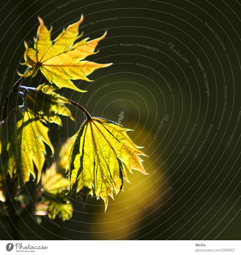 Nature Green Plant Leaf Environment Gold Growth Natural Warm-heartedness Illuminate Rachis Maple tree Maple leaf Natural growth