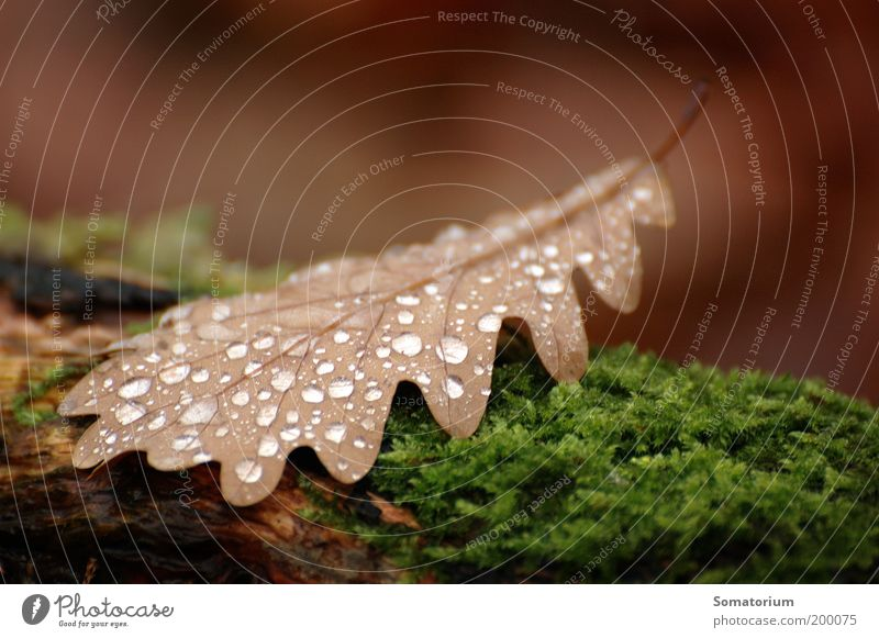 oak leaf Plant Drops of water Autumn Moss Leaf Brown Green Colour photo Macro (Extreme close-up) Deserted Shallow depth of field Dew Damp Wet Day