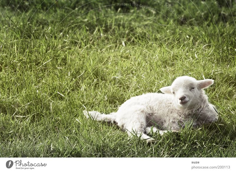 Nature Green White Animal Baby animal Meadow Grass Small Lie Dream Authentic Cute Animalistic Animal face Sheep Wool