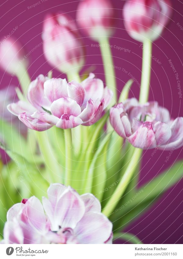 Nature Plant Beautiful Green White Pink Esthetic Violet Exotic Tulip