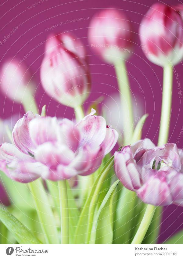 Spring greeting VI Nature Plant Tulip Blossom Esthetic Beautiful Green Violet Pink White Flower Bouquet Blossoming Limp Joybringer herald of spring Decoration
