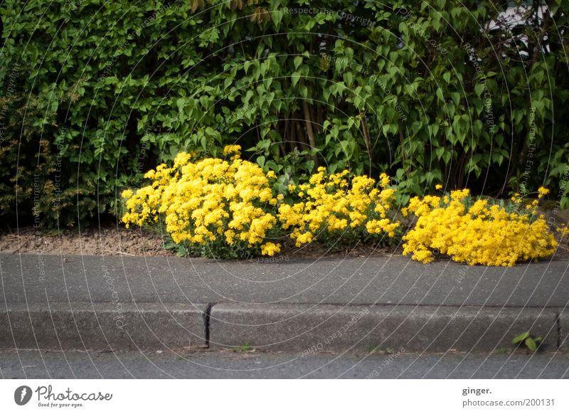 Nature Green Plant Yellow Environment Spring Asphalt Blossoming Sidewalk Curbside Flashy Hedge Lanes & trails Roadside Wayside Flowering plants