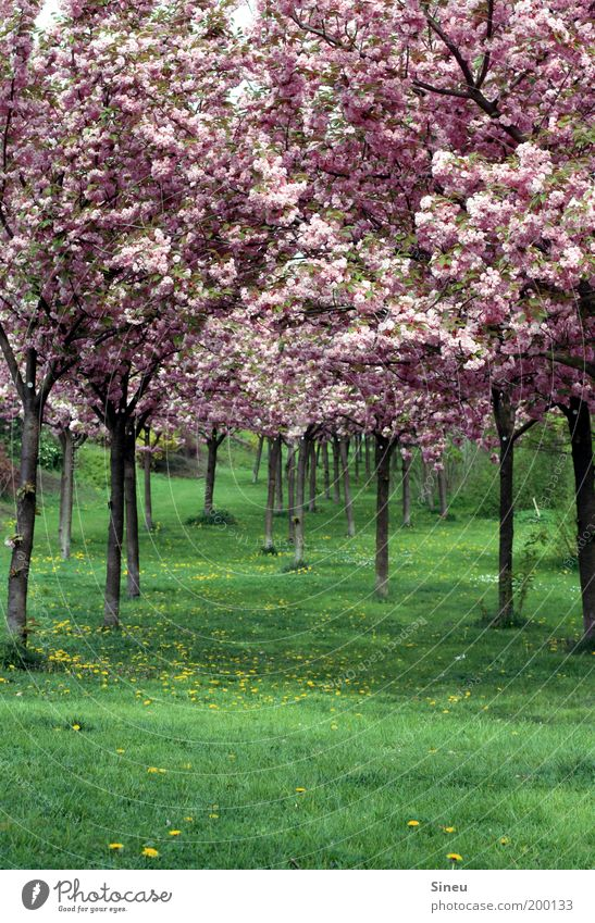 Cherry blossom alley with dandelion Plant Spring Tree Grass Japanese cherry blossom Park Blossoming Fragrance Growth Fresh Beautiful Natural Green Pink Calm