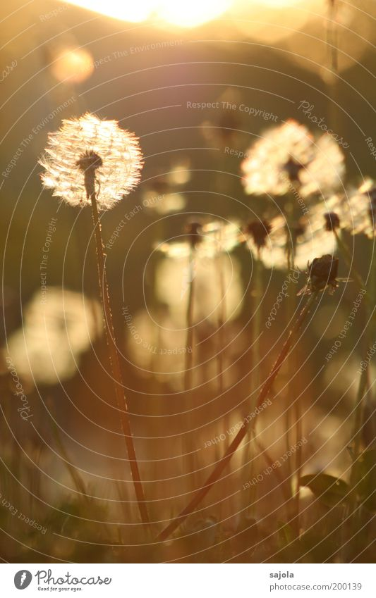 Nature Flower Plant Summer Meadow Blossom Grass Spring Environment Esthetic Stand Transience Blossoming Illuminate Dandelion