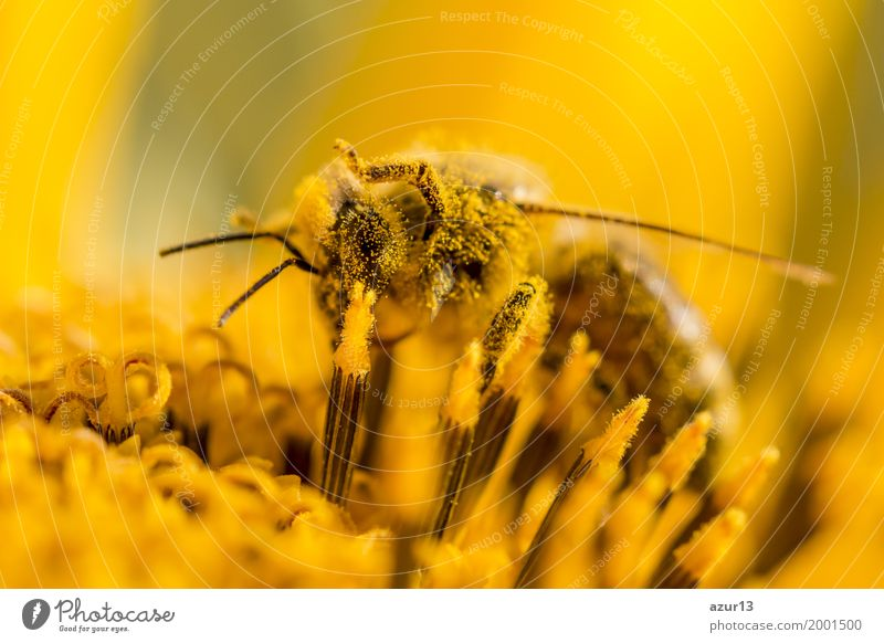 Honey bee covered with yellow pollen and legs in air Summer Environment Nature Plant Animal Spring Autumn Climate Climate change Weather Beautiful weather