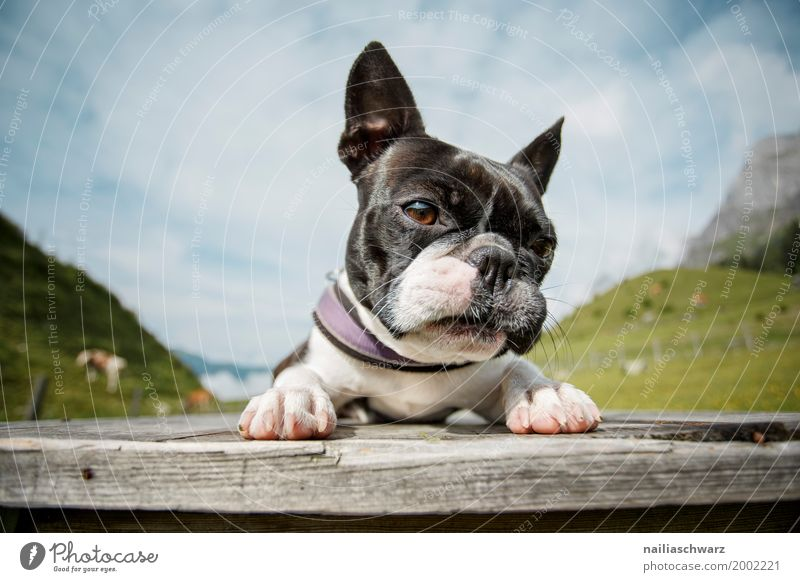 Boston Terrier Relaxation Vacation & Travel Summer Environment Nature Landscape Meadow Field Alps Mountain Animal Pet Dog 1 Observe Discover Lie Looking Brash