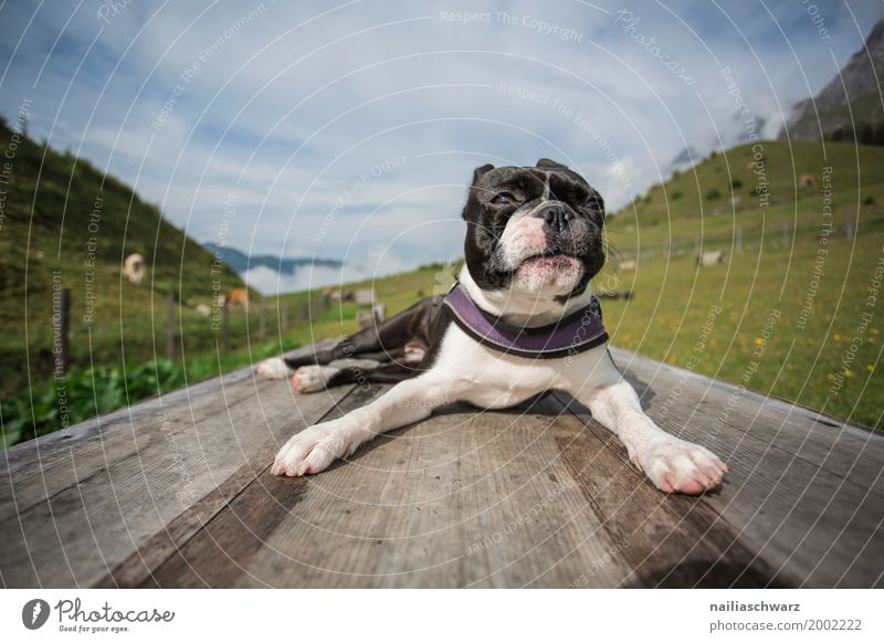 Nature Dog Vacation & Travel Summer Relaxation Animal Joy Mountain Environment Sports Happy Moody Contentment Idyll Europe Beautiful weather
