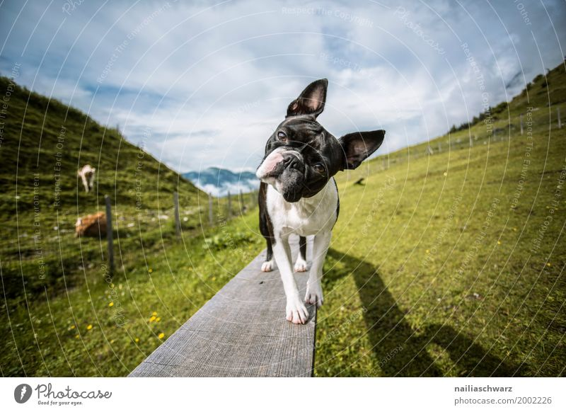 Dog Vacation & Travel Summer Landscape Animal Mountain Environment Spring Meadow Grass Field Communicate Europe Study Observe Cute