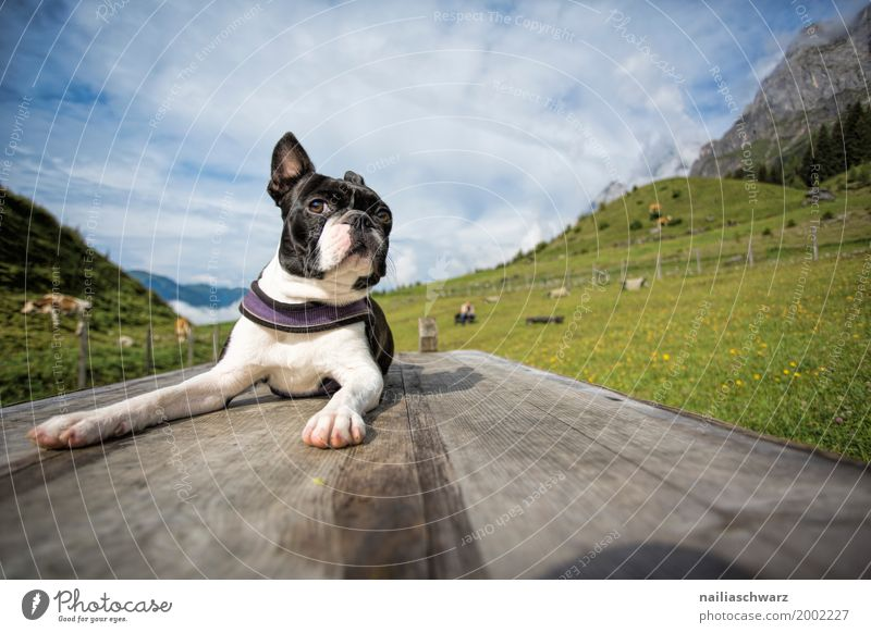 Boston Terrier on the dog sports field Relaxation Vacation & Travel Summer Environment Nature Landscape Beautiful weather Meadow Alps Animal Pet Dog 1 Observe