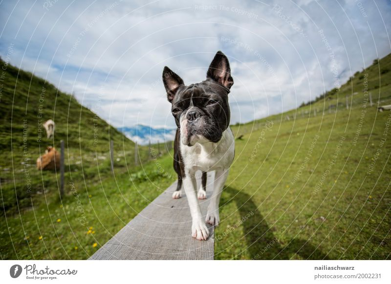 Nature Dog Vacation & Travel Summer Landscape Relaxation Animal Mountain Meadow Field Stand Europe Happiness Beautiful weather Observe Cute