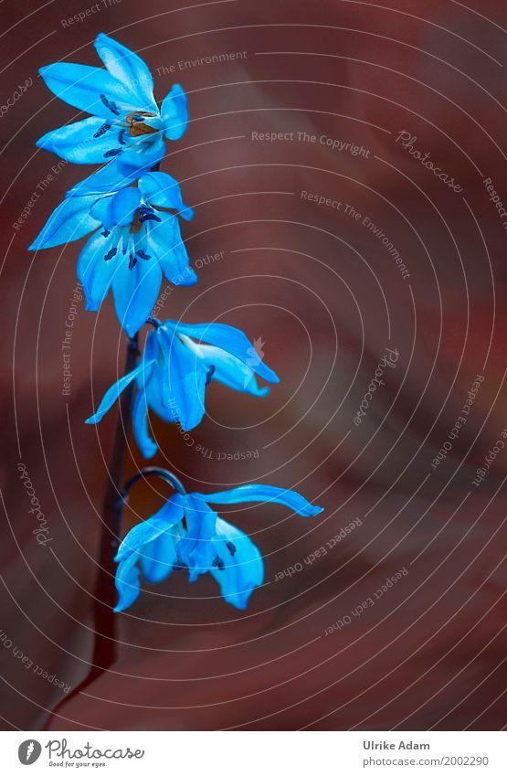 Blue star (Scilla) Elegant Design Arrange Decoration Wallpaper Image Photography Card Mother's Day Easter Nature Plant Sun Spring Flower Blossom Wild plant