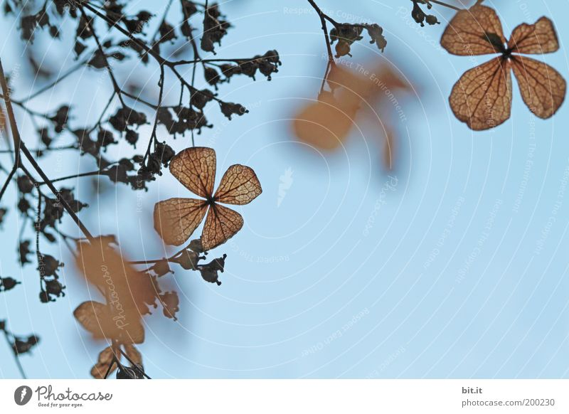 fluttering [LUsertreffen 04|10] Nature Plant Sky Cloudless sky Spring Bushes Leaf Blossom Blue Brown Romance Blossom leave Background picture Growth Hang