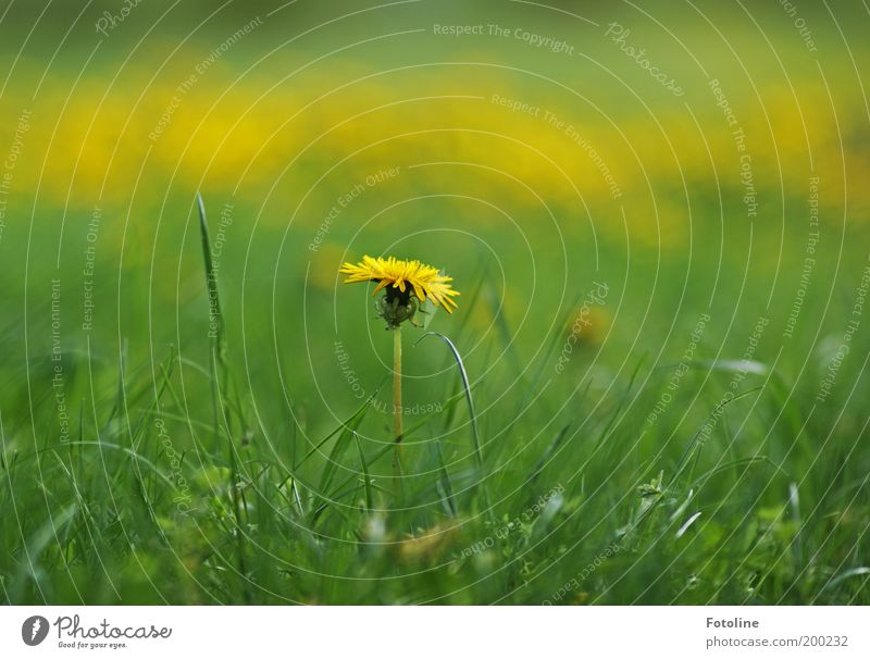 dandelion Environment Nature Landscape Plant Spring Summer Climate Weather Beautiful weather Warmth Flower Grass Blossom Garden Park Meadow Bright Yellow Green