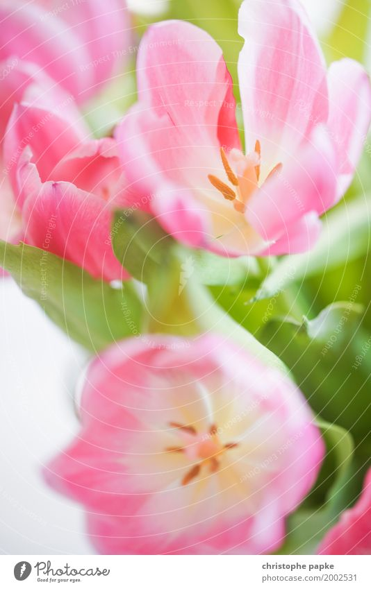 SPRING MESSENGERS Plant Flower Tulip Blossom Foliage plant Blossoming Beautiful Spring Easter Colour photo Multicoloured Exterior shot Interior shot Close-up