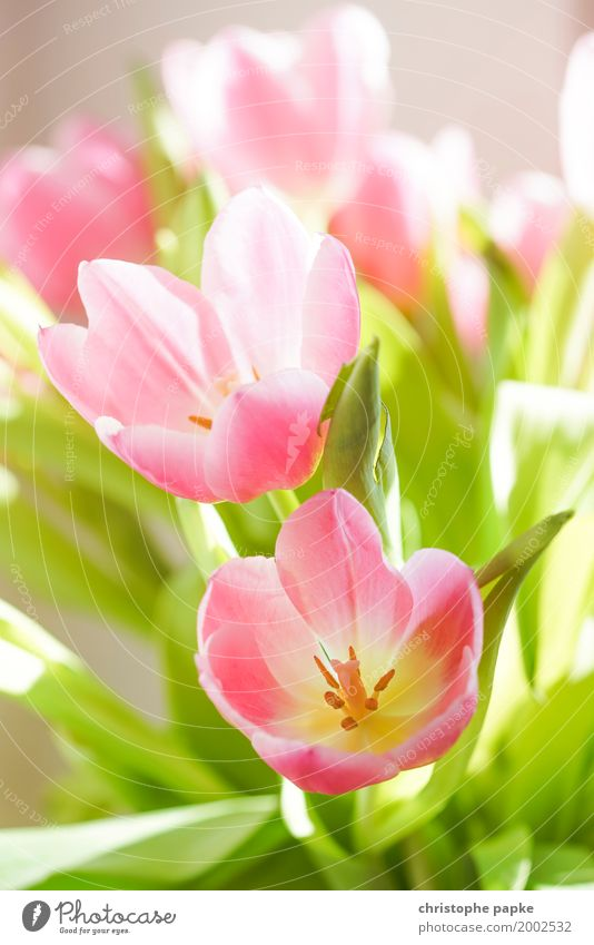 Beautiful Flower Leaf Blossom Spring Blossoming Bouquet Tulip Foliage plant
