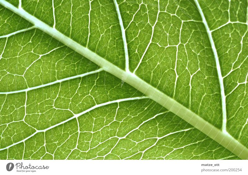 Green stuff under the magnifying glass Nature Plant Leaf Foliage plant Environment Photosynthesis Vessel Cellulose Transmission lines Biology Biological