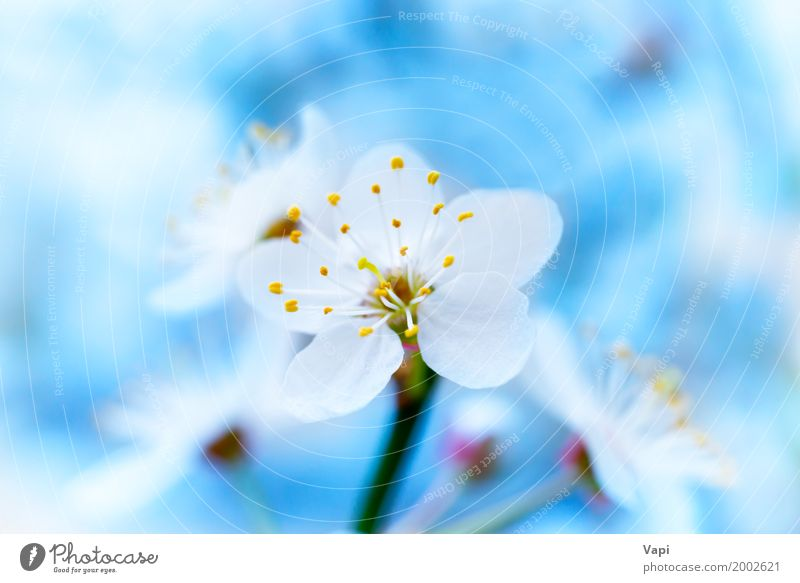 Spring blossoming white spring flowers Beautiful Life Garden Environment Nature Plant Sky Sunlight Tree Flower Blossom Blossoming Fresh Natural New Soft Blue
