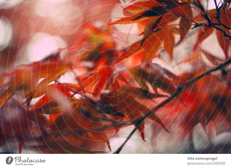 Nature Beautiful Tree Red Colour Leaf Environment Autumn Spring Park Moody Orange Wild Natural Idyll Transience