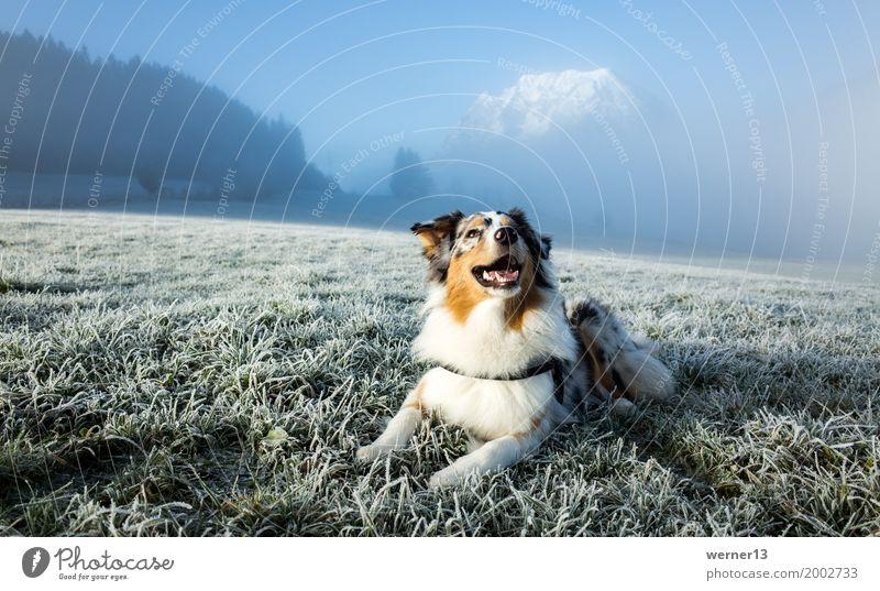 Australian Shepherd in hoarfrost Environment Nature Landscape Grass Mountain Peak Snowcapped peak Animal Pet Dog 1 Leisure and hobbies Joy Ease Hoar frost