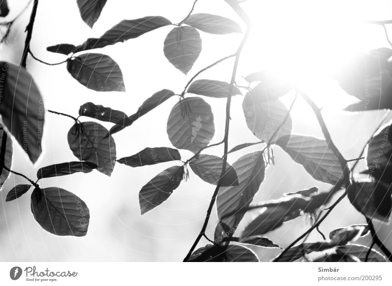 Sky Nature White Tree Sun Leaf Black Environment Life Spring Bright Authentic Purity Spring fever Sunrise