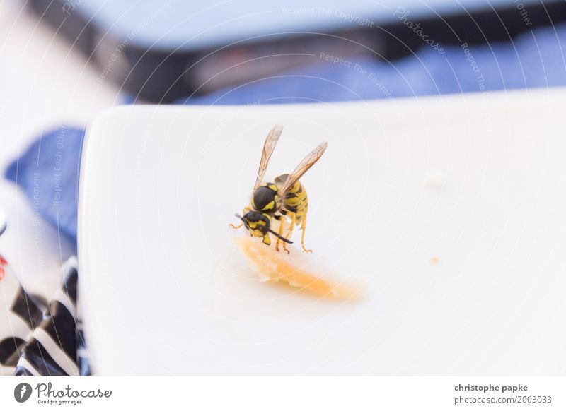 When the little hunger comes Vacation & Travel Summer Summer vacation Animal Wasps 1 To hold on Flying To feed Carrying Disgust Resolve Plagues Insect Breakfast