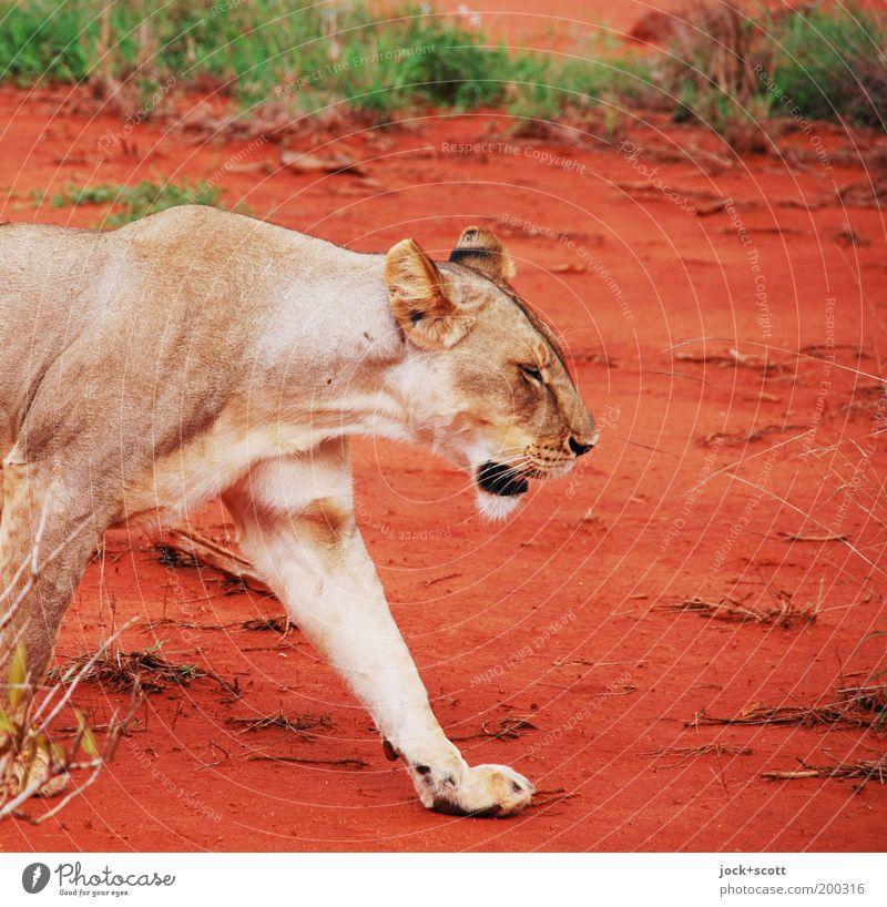 landlady Safari Animal Earth Warmth Grass Exotic Savannah Kenya Africa Wild animal Lion 1 Going Red Emotions Self-confident Power Willpower Serene Movement