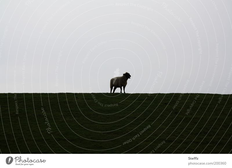 mowing Nature Landscape Animal Horizon Dike Farm animal Sheep 1 Observe Stand Simple Natural Gray Moody Calm Loneliness Boredom Environment Baaa Doomed Meadow
