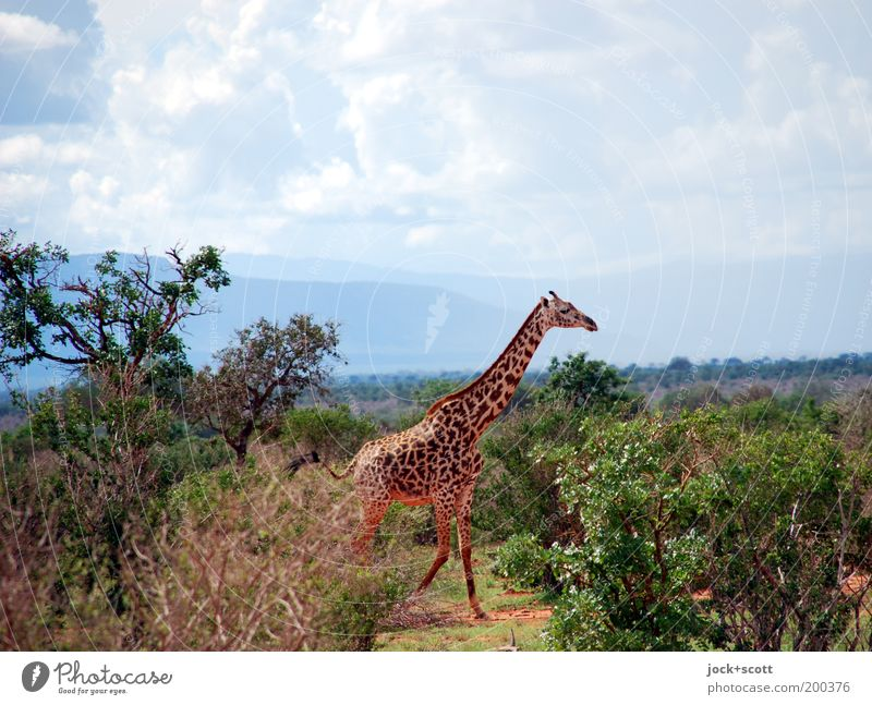 chancy giraffe Sky Landscape Clouds Animal Far-off places Mountain Warmth Life Freedom Going Horizon Wild animal Authentic Bushes Walking Large