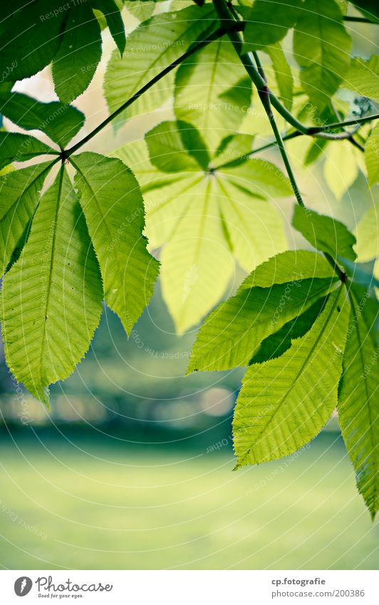 chestnut leaves Garden Nature Plant Spring Beautiful weather Tree Leaf Chestnut Chestnut tree Chestnut leaf Park Growth Fresh Natural Green