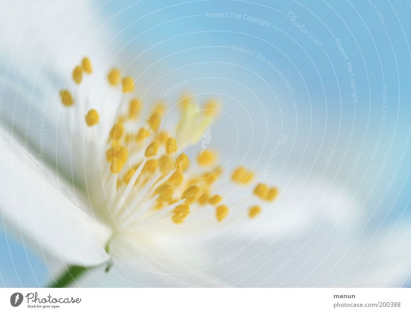 cheerful to cloudy Elegant Harmonious Fragrance Nature Spring Summer Flower Blossom Esthetic Fresh Bright White Light blue Colour photo Close-up Detail