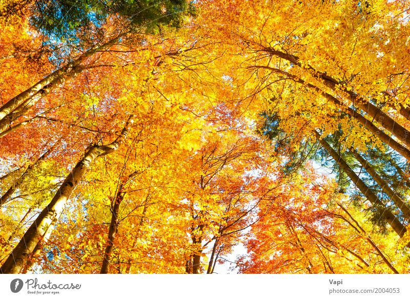 Fall in the forest Sky Nature Plant Colour Beautiful Green White Sun Tree Landscape Red Leaf Forest Environment Yellow Autumn