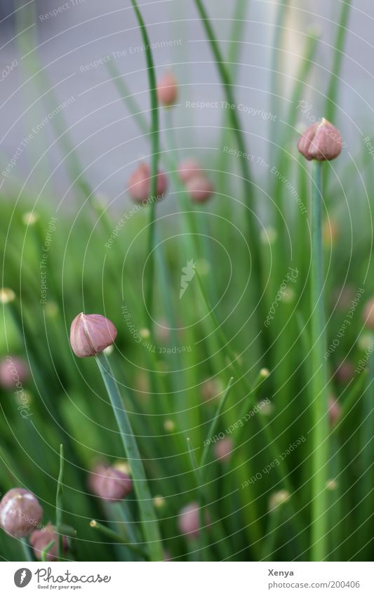 chives Herbs and spices Vegetarian diet Nature Plant Agricultural crop Garden Blossoming Green Violet Spring Herb garden Chives Colour photo Close-up Day Blur