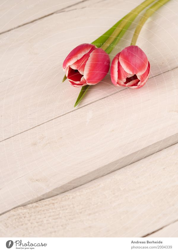 Two tulips Fragrance Valentine's Day Mother's Day Plant Spring Tulip Bouquet Love Jump Retro Pink day decoration easter romantic rustic springtime table violet