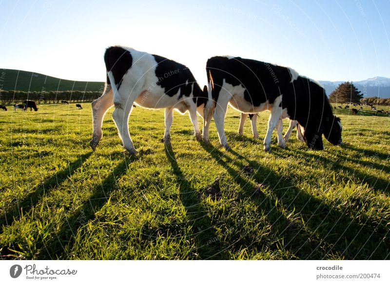 Nature Plant Animal Life Meadow Grass Landscape Contentment Environment Stand Hill Cow Pasture Beautiful weather To feed Agriculture