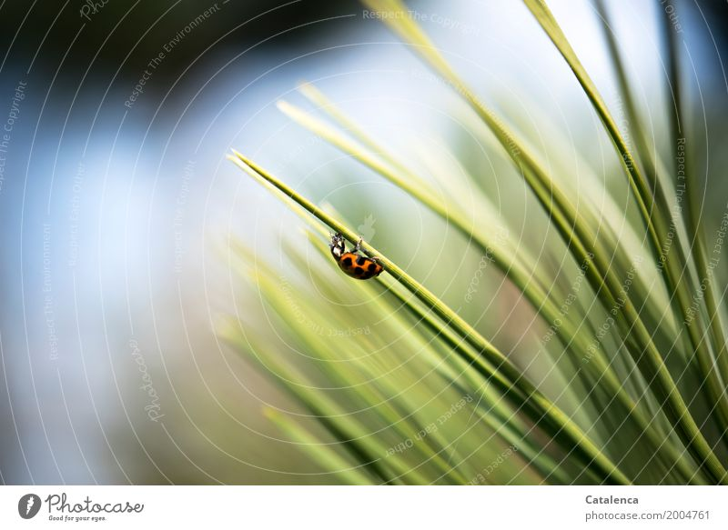 chow Nature Plant Animal Spring Beautiful weather Tree Pine pine needle Garden Forest Beetle Ladybird Greenfly 1 Eating Blue Orange Black White Success