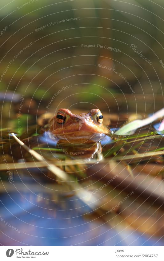 toad Water Beautiful weather Pond Animal Wild animal Frog 1 Swimming & Bathing Wet Natural Nature Painted frog Colour photo Exterior shot Close-up Deserted