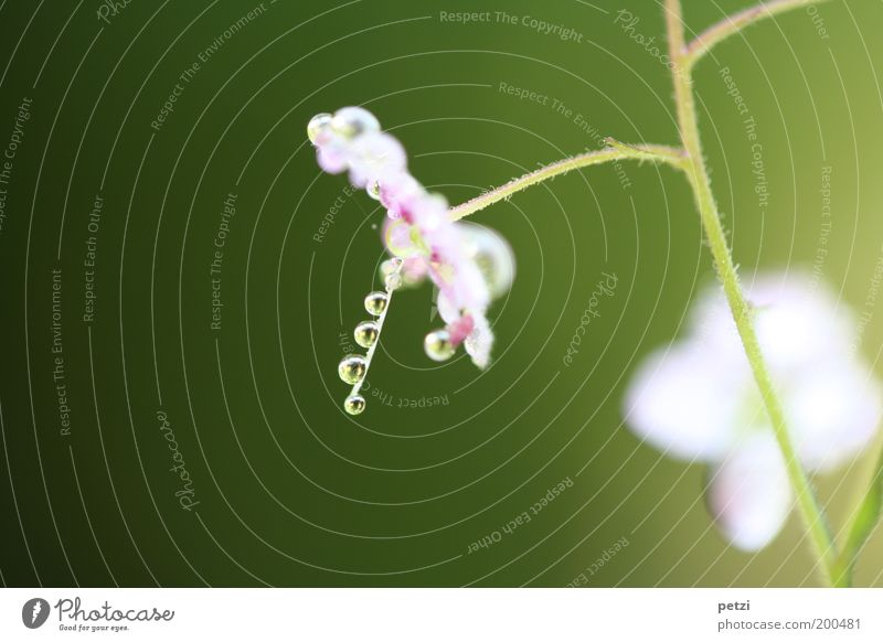 Nature Beautiful White Flower Green Plant Small Pink Elegant Drops of water Wet Near Simple Violet Uniqueness