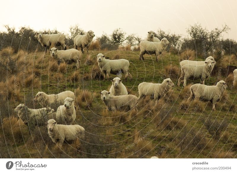 New Zealand 61 (mäh mäh) Environment Nature Landscape Plant Grass Bushes Meadow Field Hill Animal Farm animal Sheep Group of animals Herd Observe To feed Stand