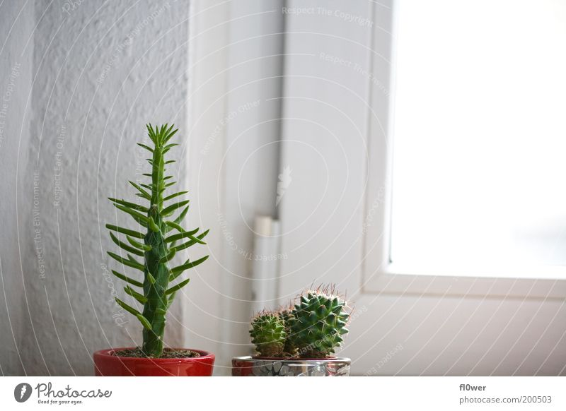 Green White Sun Red Window Wall (building) Small Uniqueness Fat Silver Competition Thorny Flowerpot Foliage plant Cactus Overexposure
