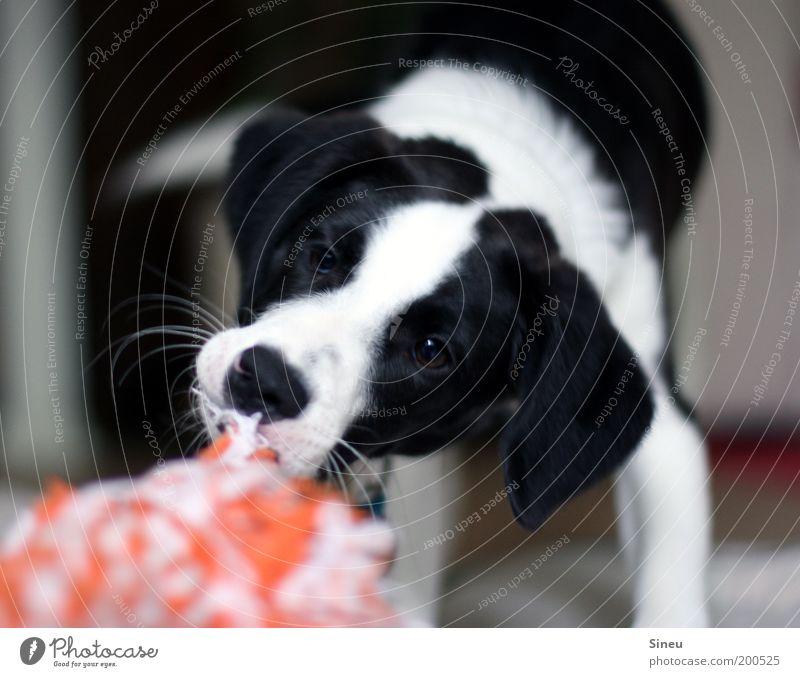 Beautiful White Joy Black Animal Playing Movement Dog Power Funny Animal face Joie de vivre (Vitality) Toys Cute Brash Puppy