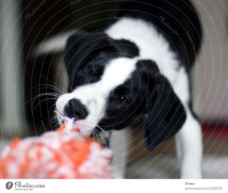 Give! That! Give it to me! Playing Dog Animal face 1 Baby animal Beautiful Astute Funny Rebellious Black White Joy Joie de vivre (Vitality) Movement Power Puppy