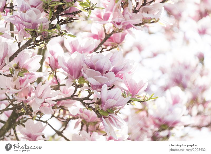 Spring fever - spoken through the flower Plant Beautiful weather Tree Leaf Blossom Garden Blossoming Bright Almond blossom Magnolia plants Colour photo