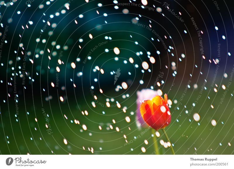 Tulip in the rain Nature Landscape Plant Water Drops of water Weather Beautiful weather Rain Flower Blossom Foliage plant Garden Park Wet Green Pink Red