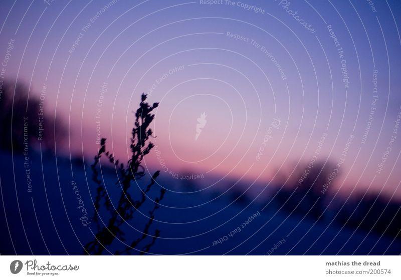 EVENING DROMATICS Environment Nature Landscape Plant Sky Winter Snow Grass Bushes Meadow Field Dark Cold Soft Violet Shriveled Blur Calm Idyll Still Life