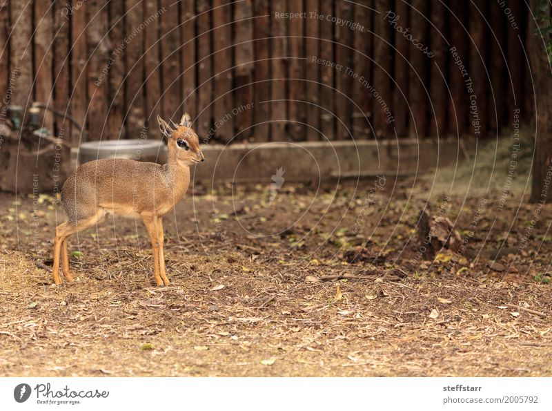 Cavendishs dik dik called Madoqua kirkii cavendish Nature Animal Small Wild Wild animal Mammal