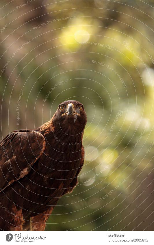 Golden eagle Aquila chrysaetos Animal Wild animal Bird Animal face 1 Brown Eagle Bird of prey raptor predator avian Beak eagle eyes Hunter Wild bird wildlife