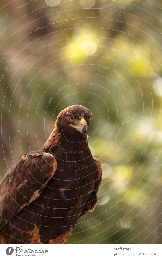 Golden eagle Aquila chrysaetos Animal Wild animal Bird 1 Brown Eagle Bird of prey raptor predator avian Beak eagle eyes Hunter Wild bird wildlife Colour photo