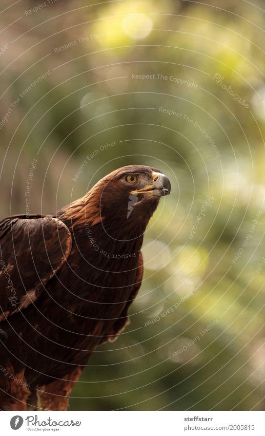 Golden eagle Aquila chrysaetos Animal Bird Animal face 1 Brown Eagle Bird of prey raptor predator avian Beak eagle eyes Hunter Wild bird wildlife Colour photo